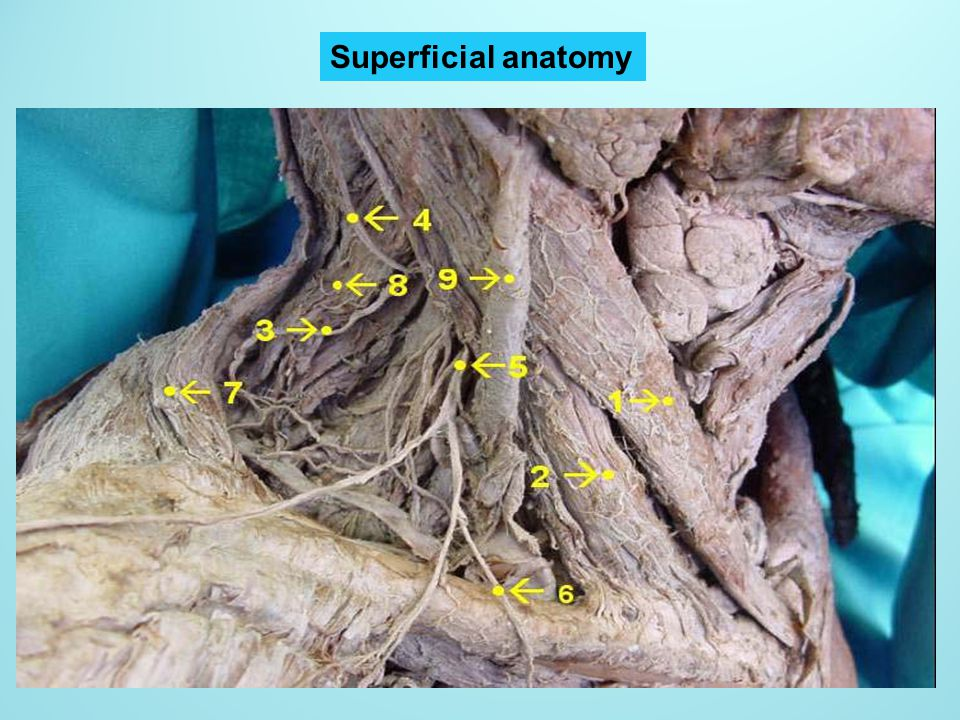 Superficial anatomy
