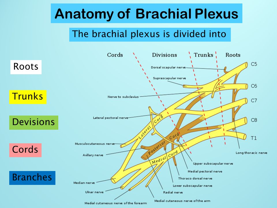 Anatomy of Brachial Plexus