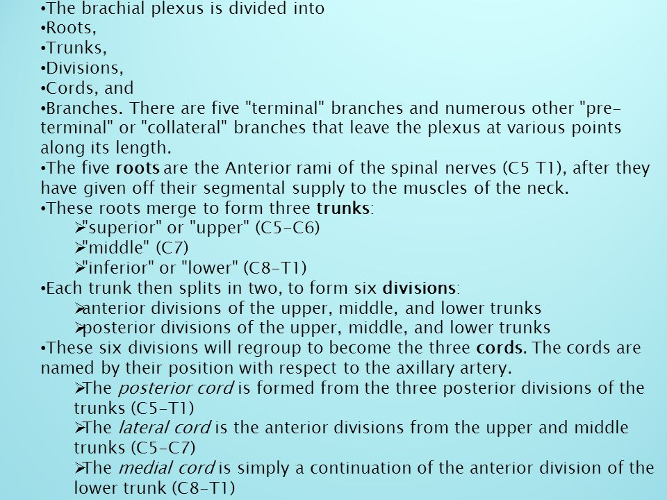 The brachial plexus is divided into