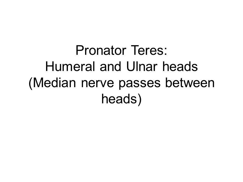 Pronator Teres: Humeral and Ulnar heads (Median nerve passes between heads)
