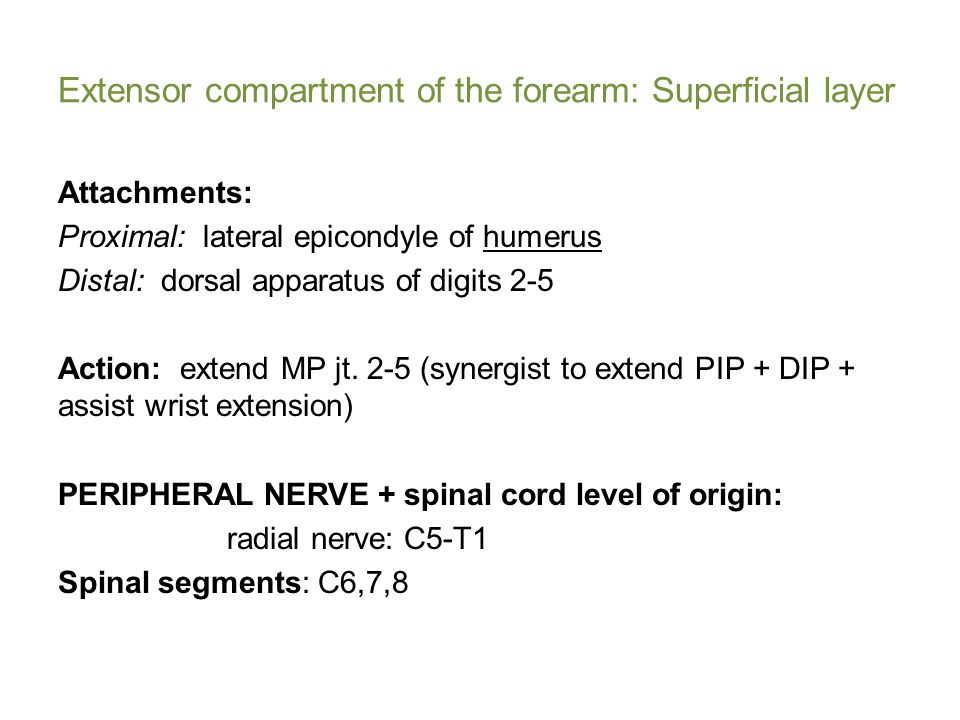 Extensor compartment of the forearm: Superficial layer