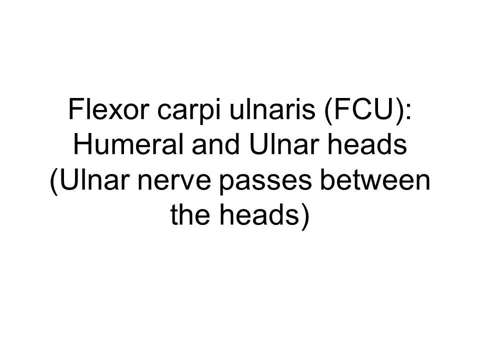 Flexor carpi ulnaris (FCU): Humeral and Ulnar heads (Ulnar nerve passes between the heads)