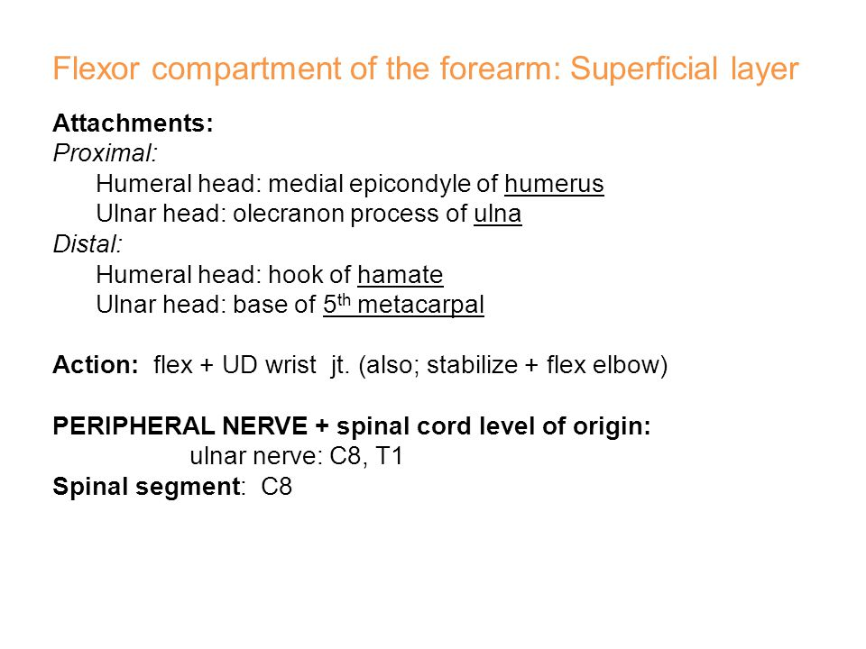 Flexor compartment of the forearm: Superficial layer
