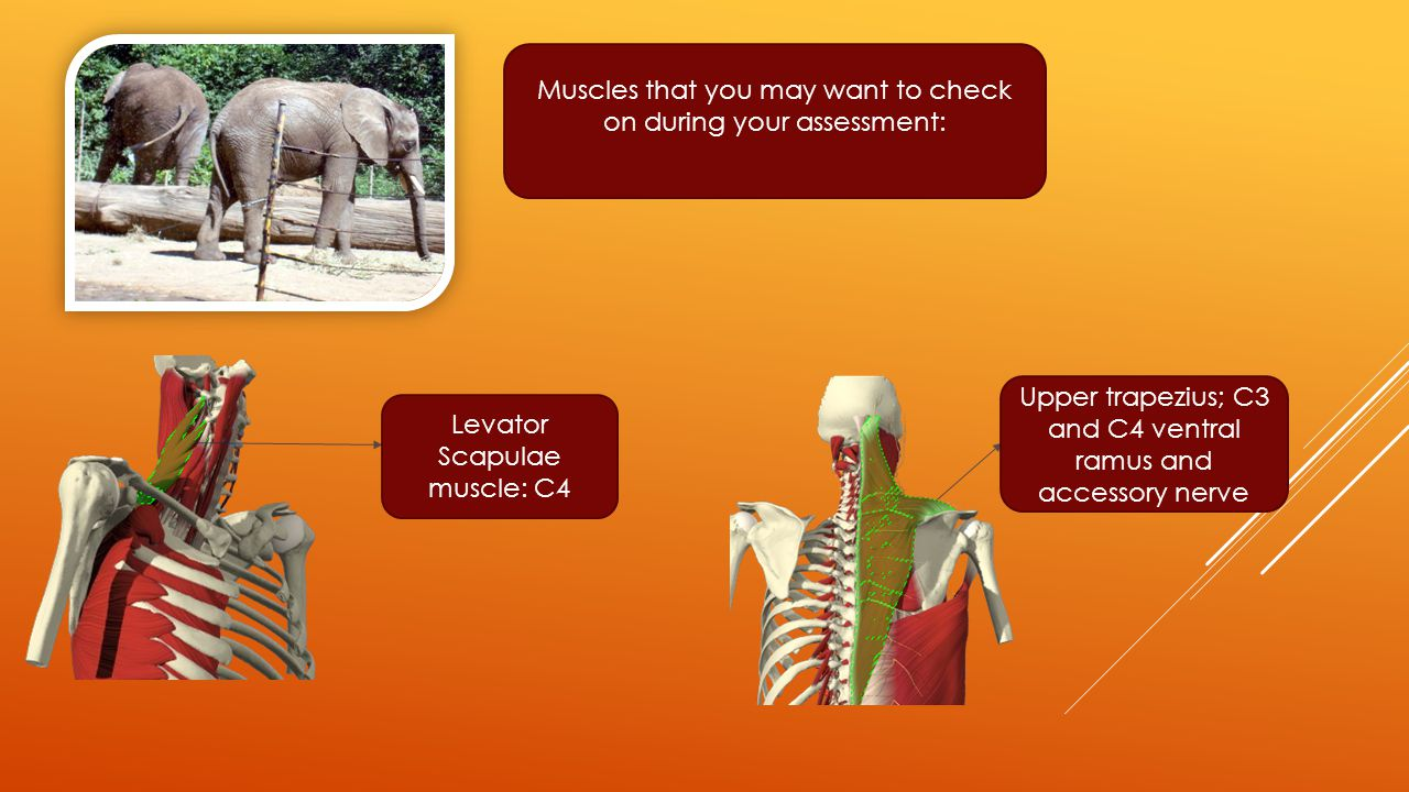 Muscles that you may want to check on during your assessment: