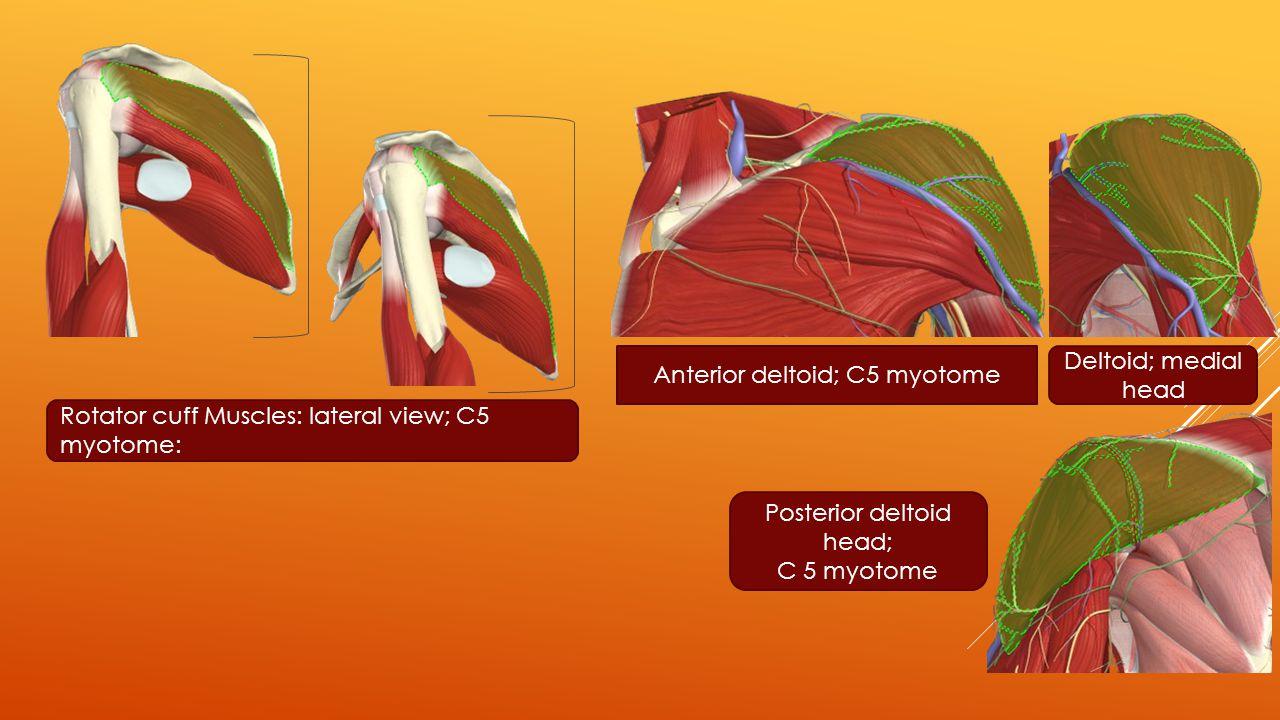 Anterior deltoid; C5 myotome Deltoid; medial head