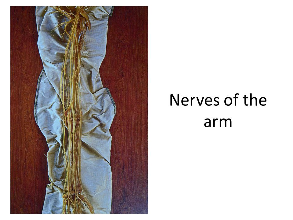 Nerves of the arm Note the daunting complexity of the brachial and antebrachial nerves