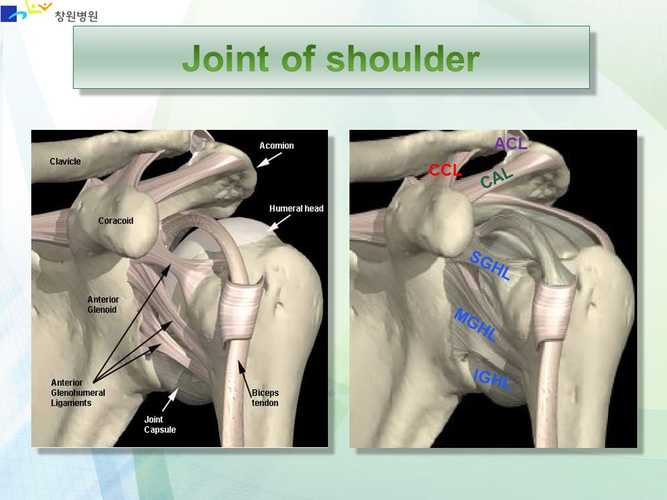 Joint of shoulder ACL CCL CAL SGHL MGHL IGHL