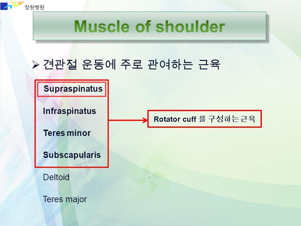 Muscle of shoulder 견관절 운동에 주로 관여하는 근육 Supraspinatus Infraspinatus