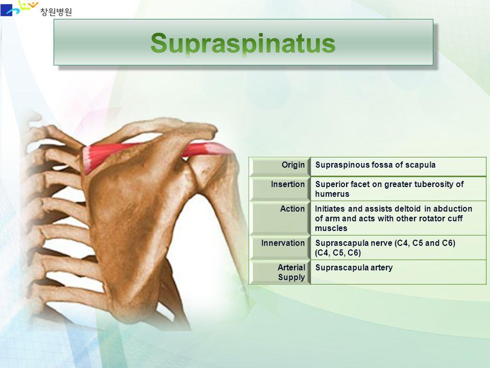 Supraspinatus Origin Supraspinous fossa of scapula Insertion