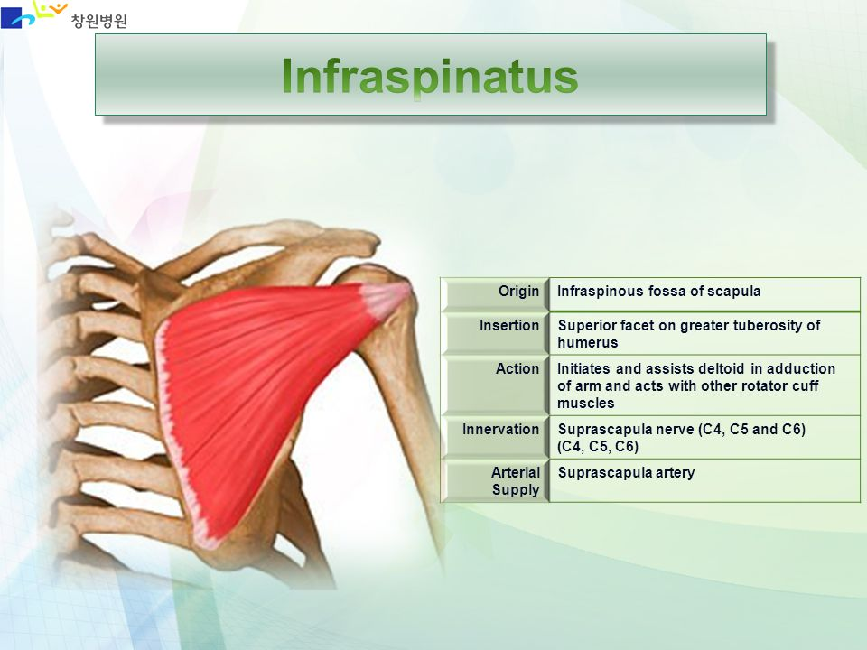 Infraspinatus Origin Infraspinous fossa of scapula Insertion