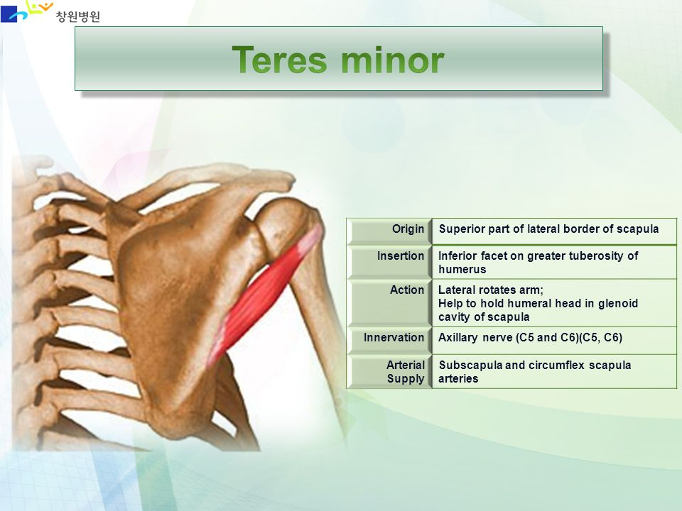 Teres minor Origin Superior part of lateral border of scapula