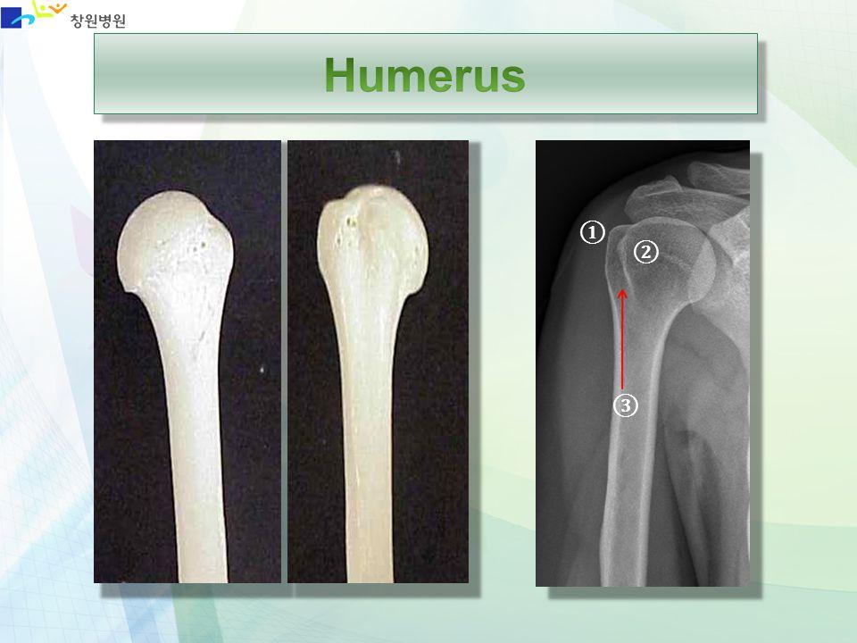 Humerus ① ② ③
