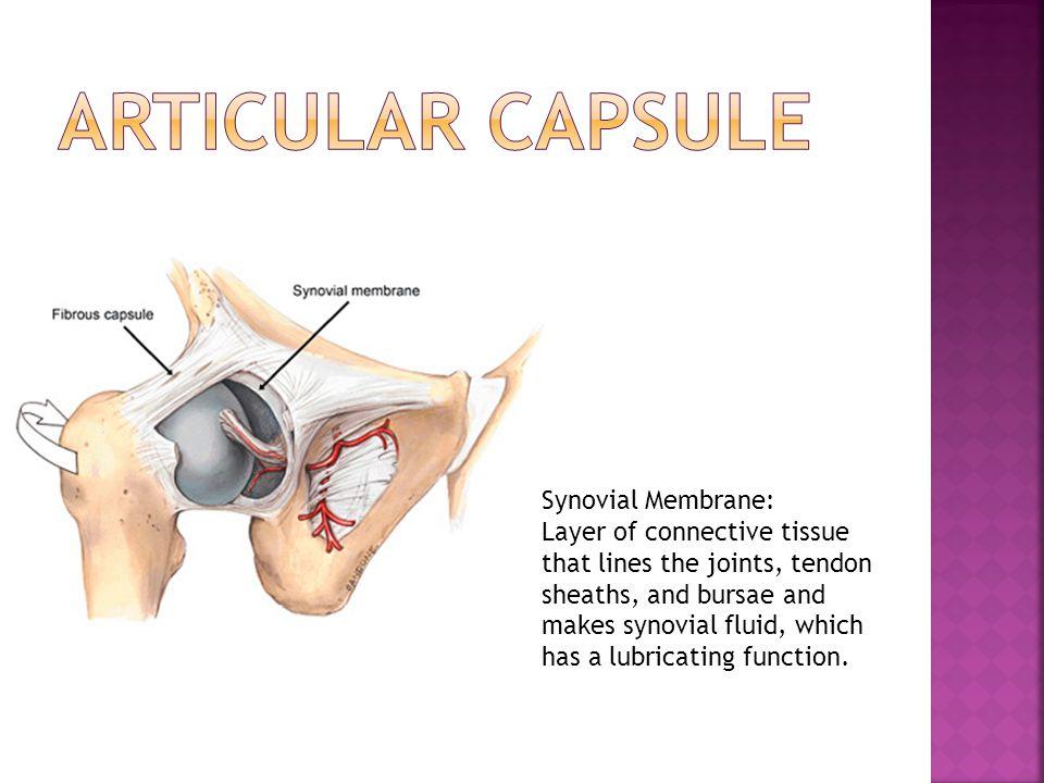 Articular Capsule Synovial Membrane: