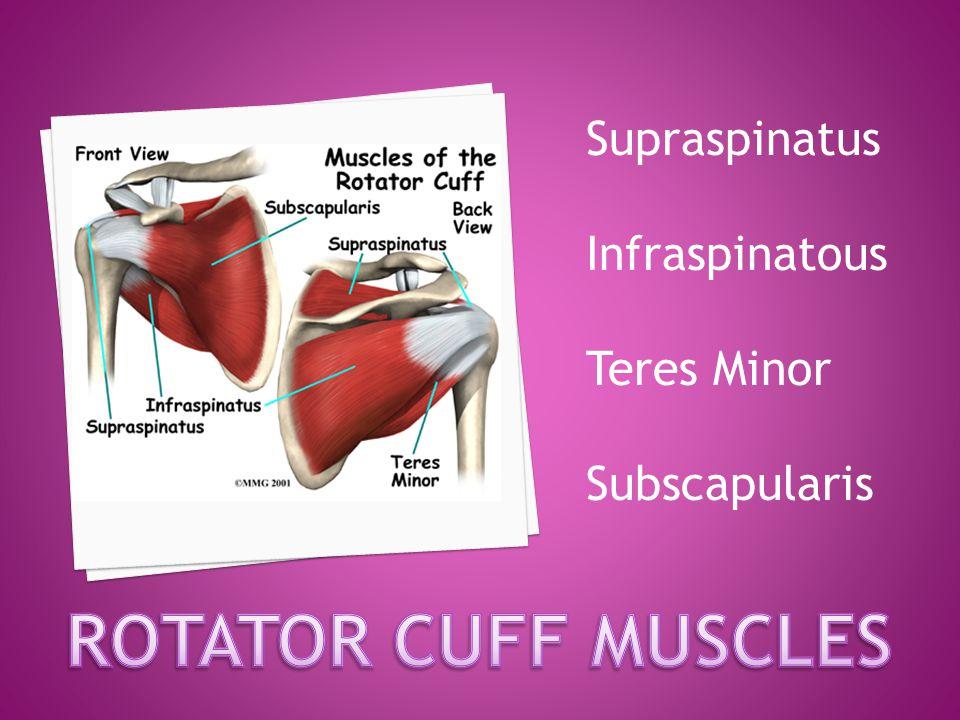 ROTATOR CUFF MUSCLES Supraspinatus Infraspinatous Teres Minor