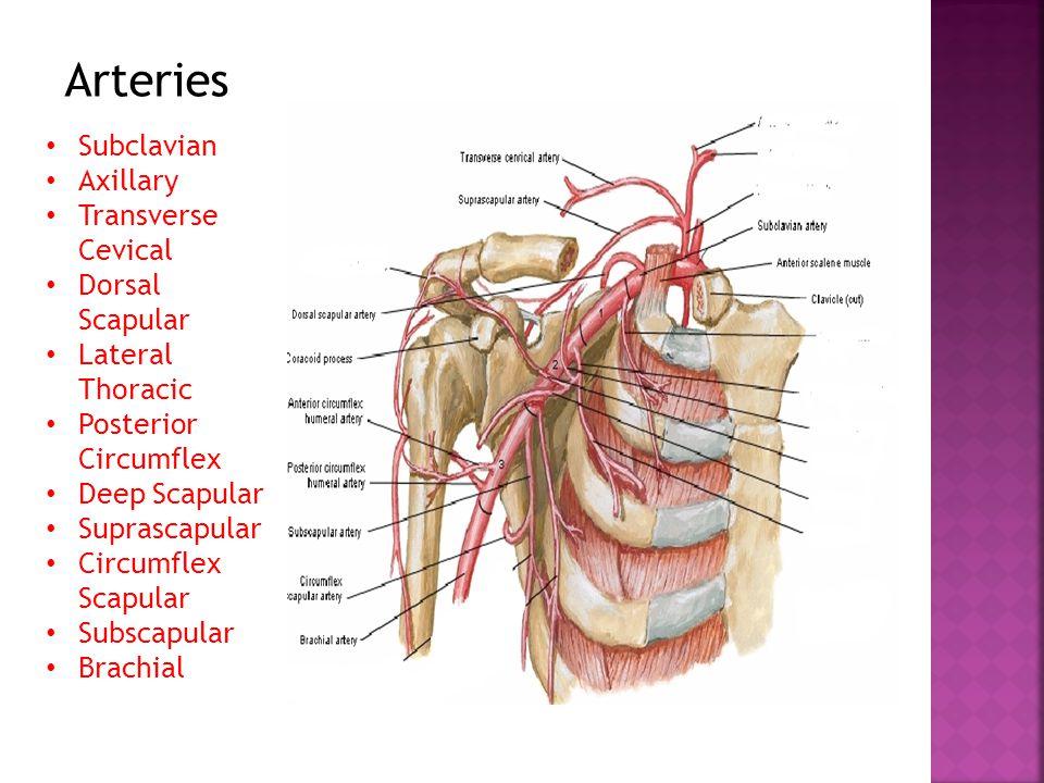 Arteries Subclavian Axillary Transverse Cevical Dorsal Scapular