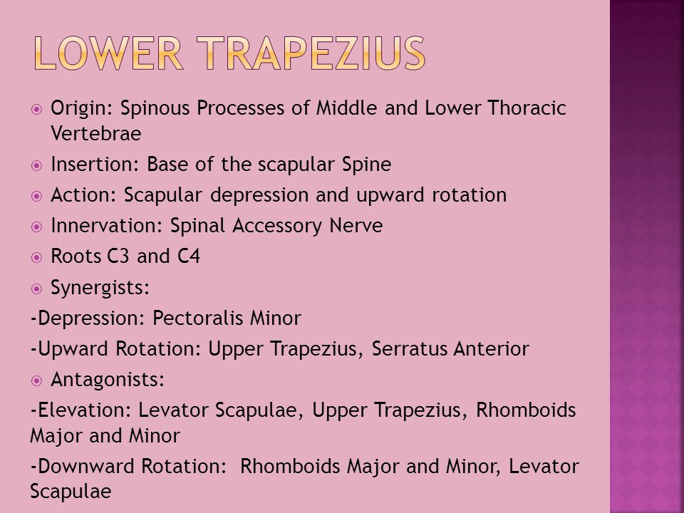 Lower Trapezius Origin: Spinous Processes of Middle and Lower Thoracic Vertebrae. Insertion: Base of the scapular Spine.