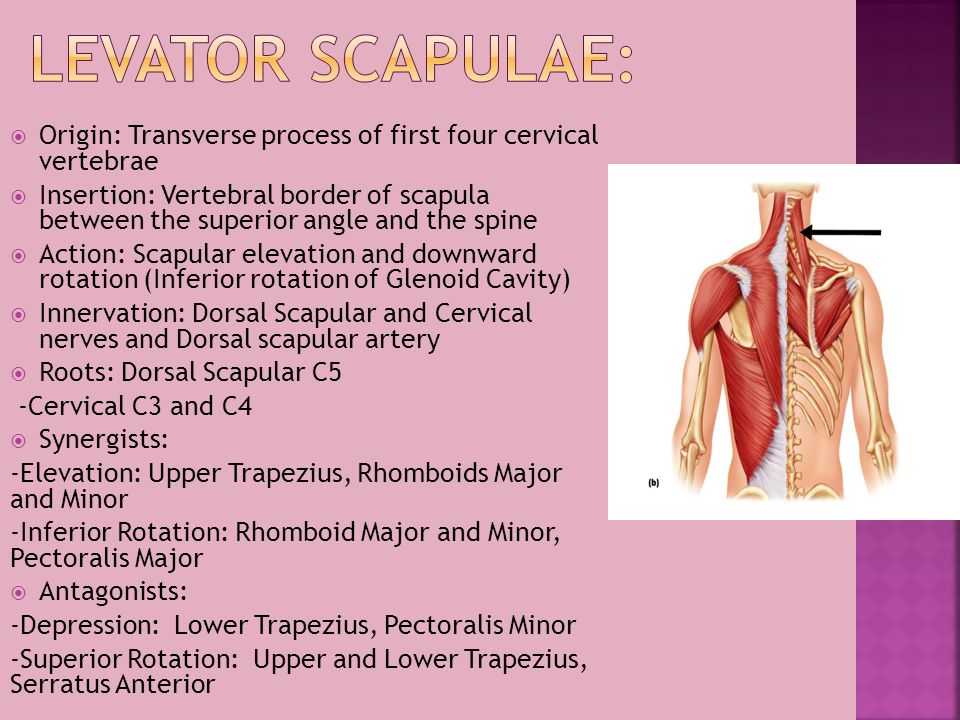 Levator Scapulae: Origin: Transverse process of first four cervical vertebrae.