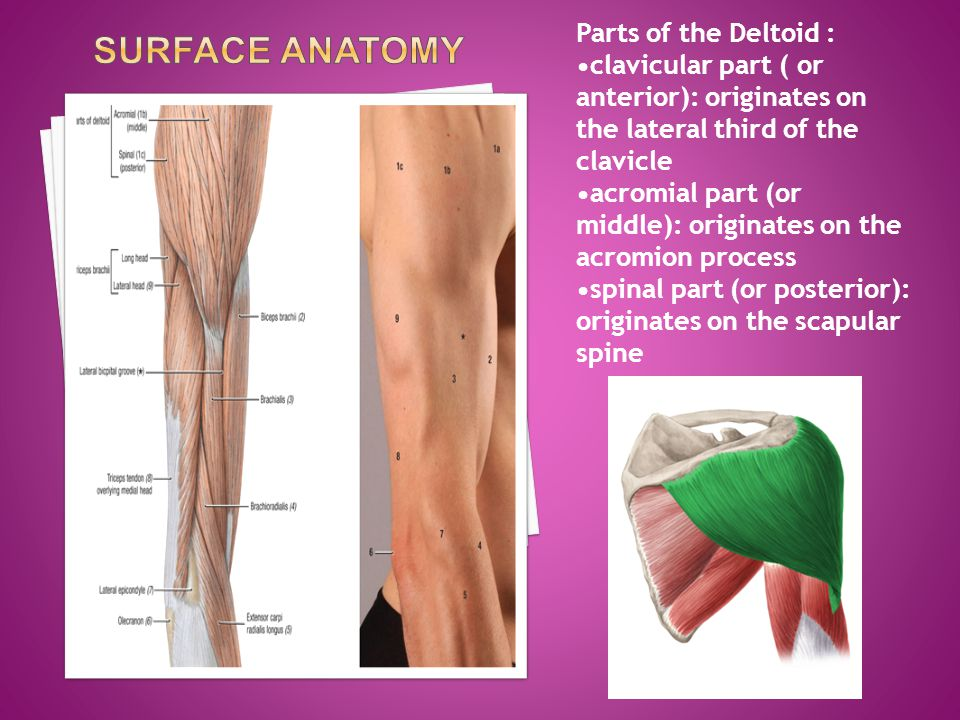 Surface Anatomy Parts of the Deltoid :