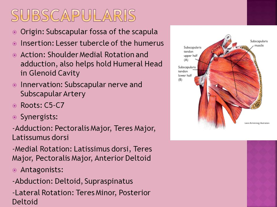 Subscapularis Origin: Subscapular fossa of the scapula