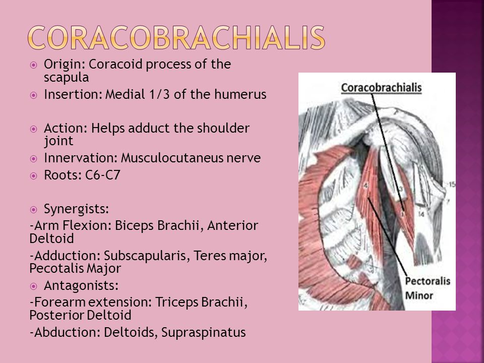Coracobrachialis Origin: Coracoid process of the scapula