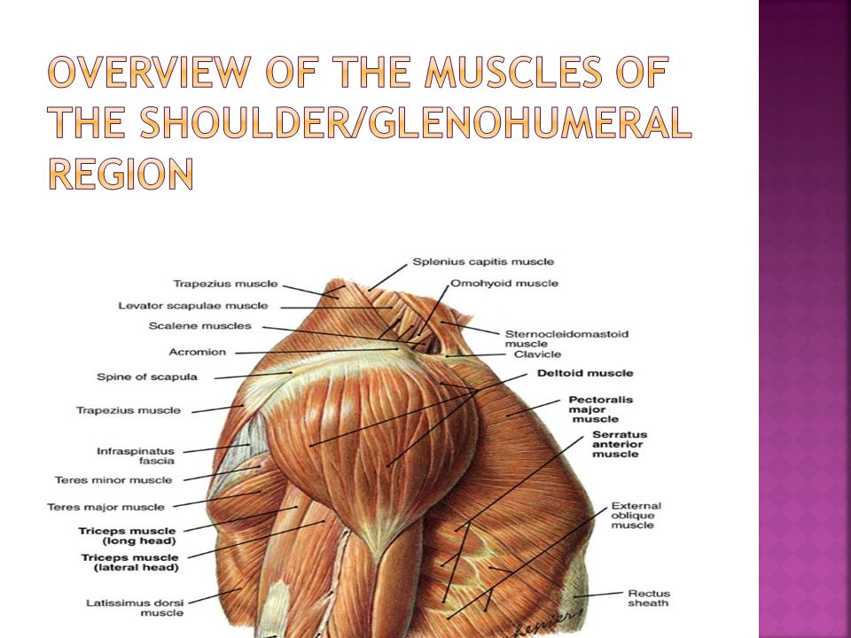 Overview of the Muscles of the SHOULDER/GLENOHUMERAL region