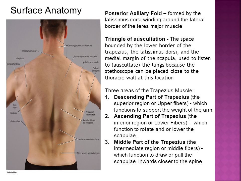 Surface Anatomy Posterior Axillary Fold – formed by the latissimus dorsi winding around the lateral border of the teres major muscle.