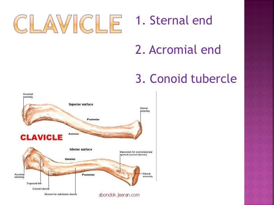 CLAVICLE Sternal end 2. Acromial end 3. Conoid tubercle
