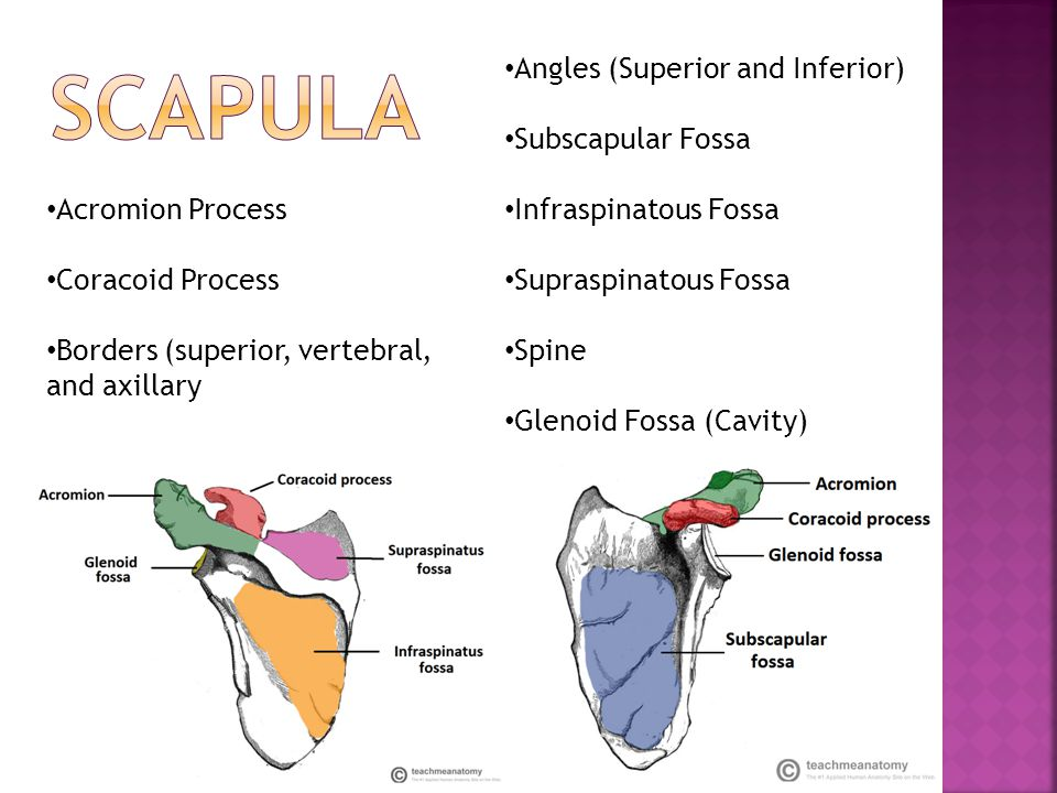SCAPULA Angles (Superior and Inferior) Subscapular Fossa