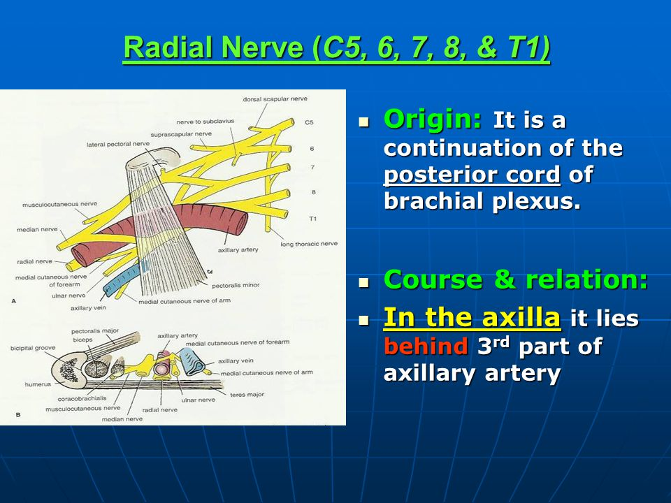 Radial Nerve (C5, 6, 7, 8, & T1) Origin: It is a continuation of the posterior cord of brachial plexus.