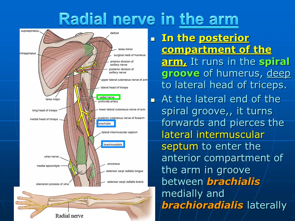 Radial nerve in the arm In the posterior compartment of the arm, It runs in the spiral groove of humerus, deep to lateral head of triceps.