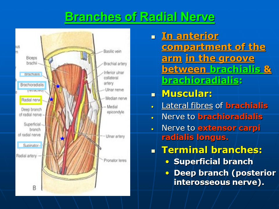 Branches of Radial Nerve