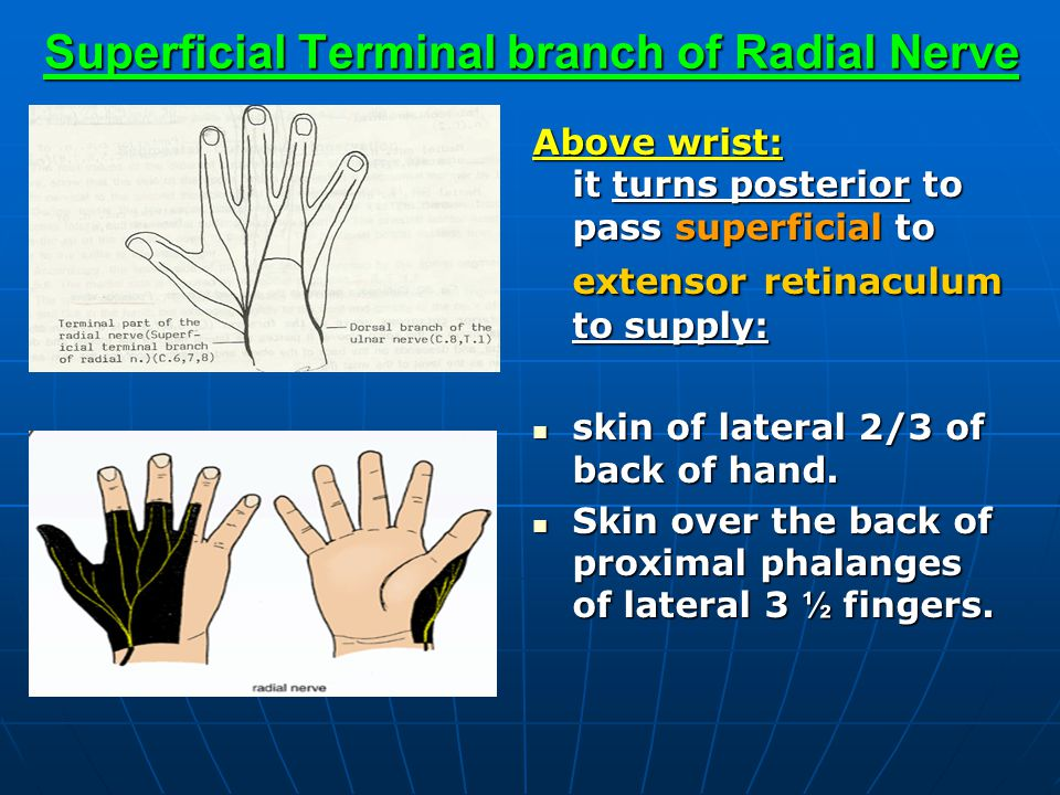 Superficial Terminal branch of Radial Nerve