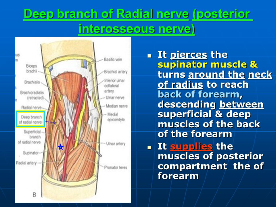 Deep branch of Radial nerve (posterior interosseous nerve)