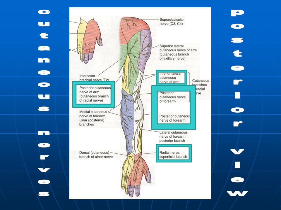 posterior view cutaneous nerves