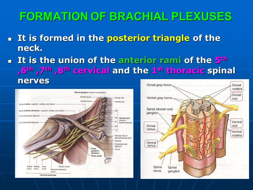 FORMATION OF BRACHIAL PLEXUSES