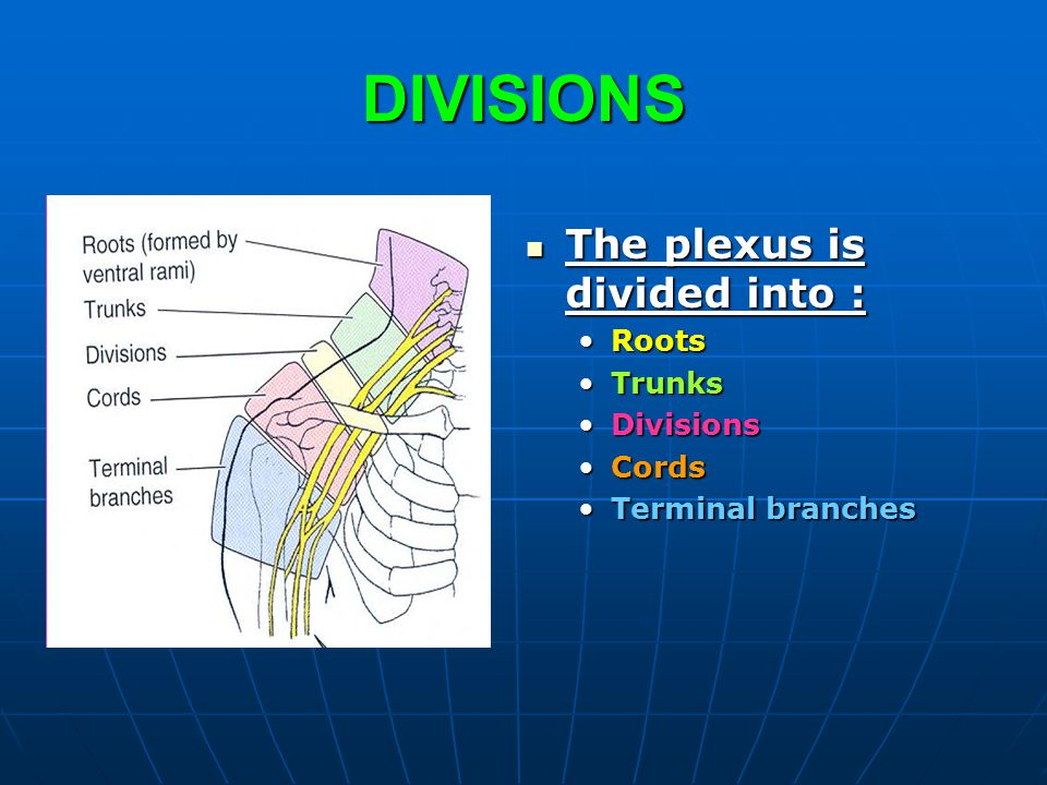 DIVISIONS The plexus is divided into : Roots Trunks Divisions Cords
