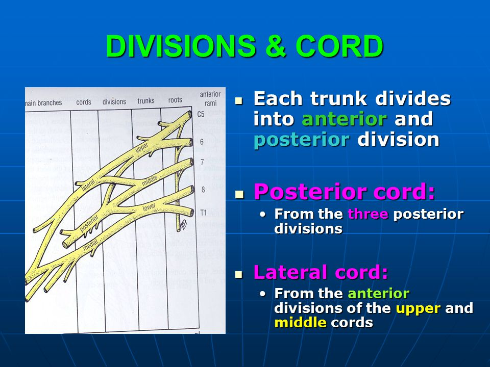 DIVISIONS & CORD Posterior cord: