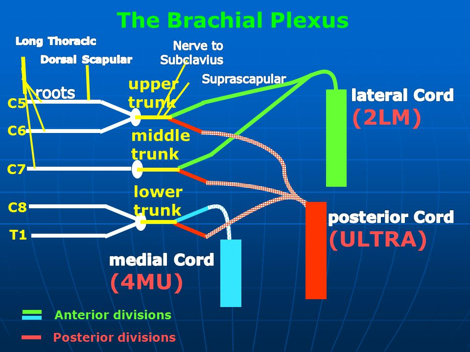 The Brachial Plexus (2LM) (ULTRA) (4MU) upper roots trunk lateral Cord