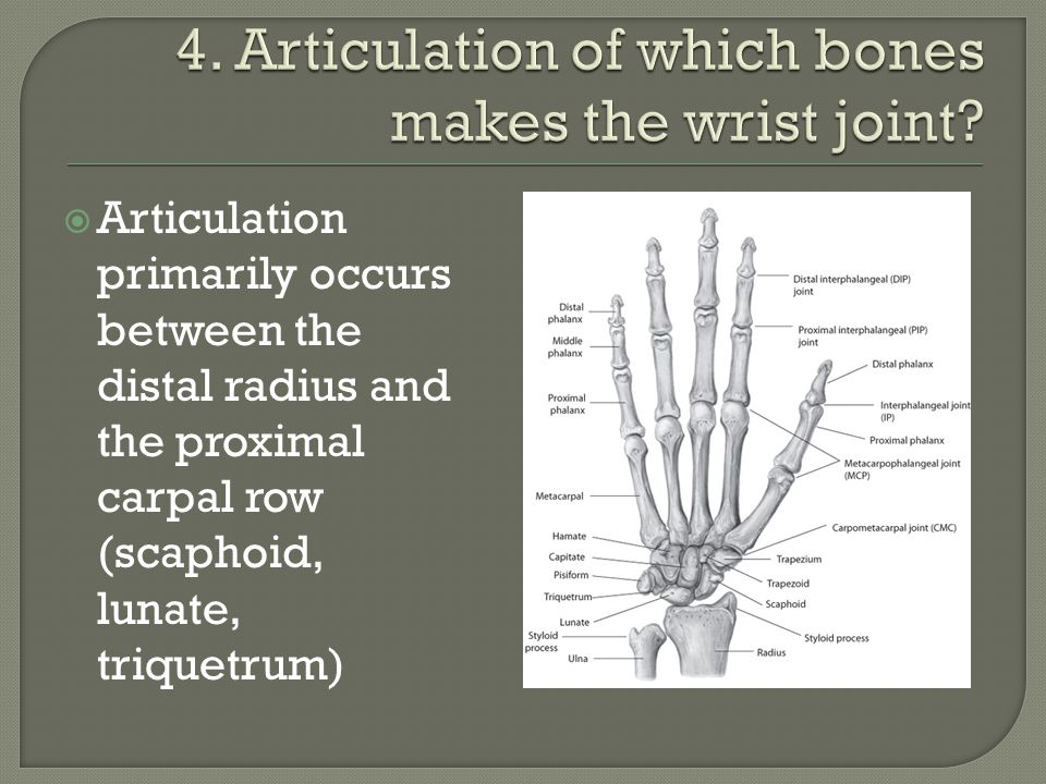 4. Articulation of which bones makes the wrist joint