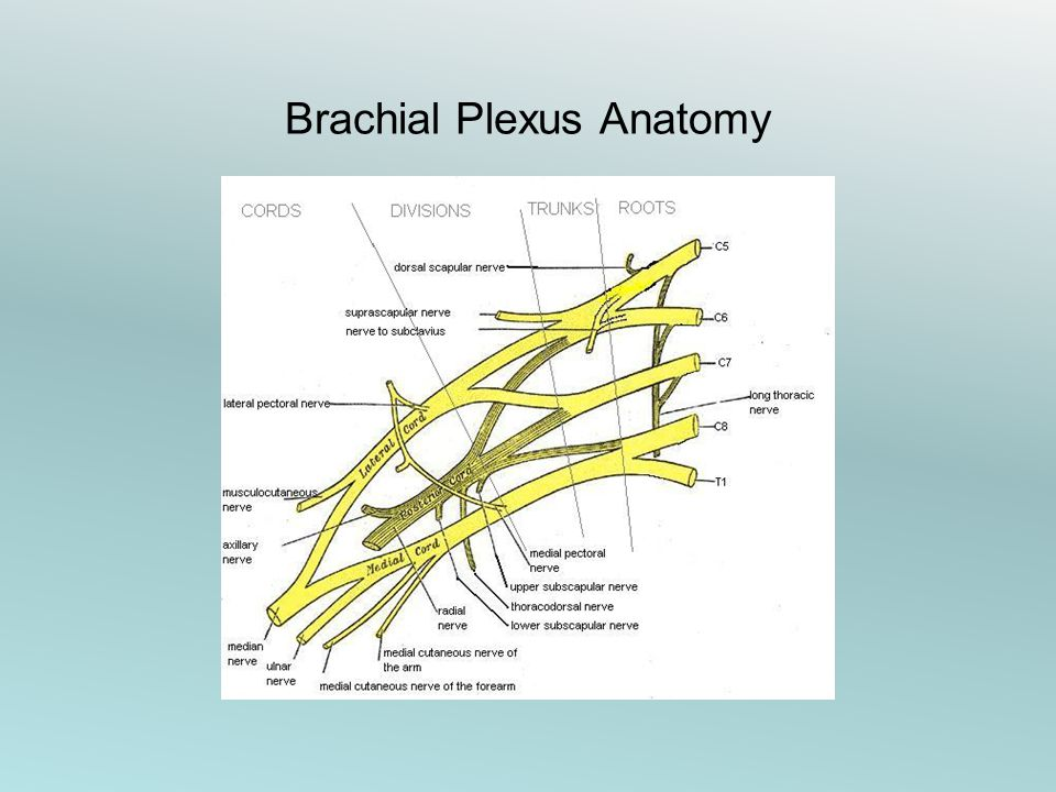 Brachial plexus anatomy ppt