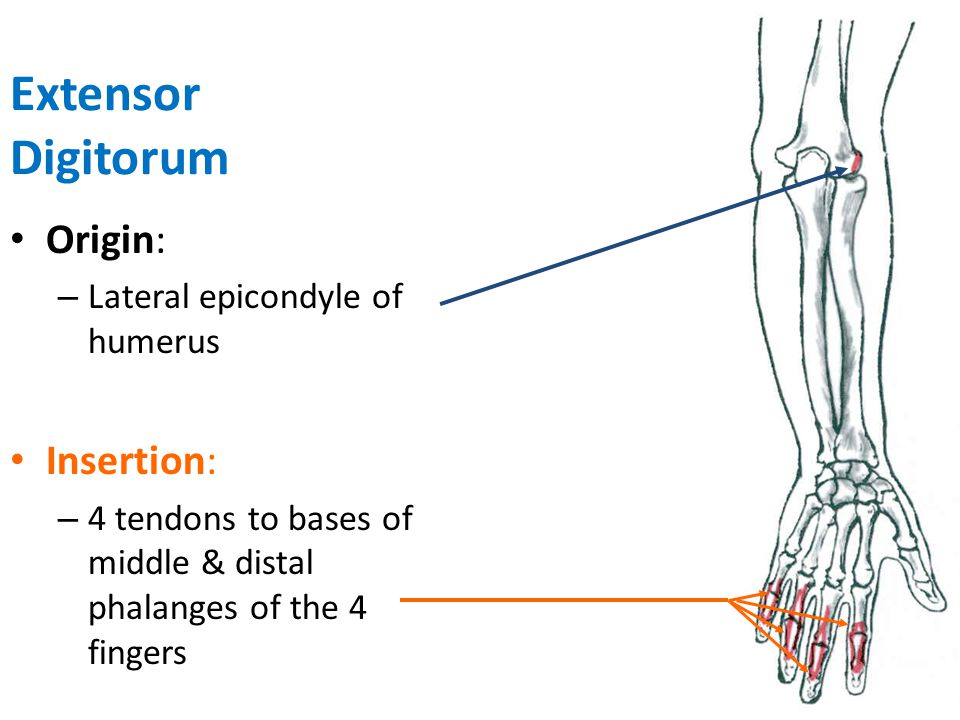 Extensor Digitorum Origin: Insertion: Lateral epicondyle of humerus