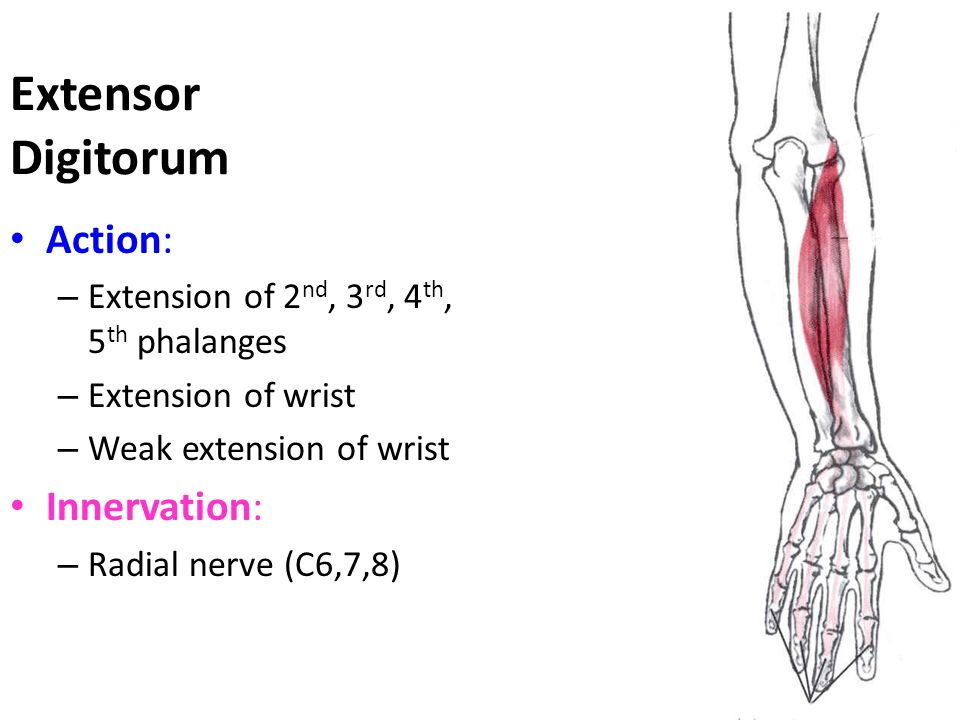 Extensor Digitorum Action: Innervation: