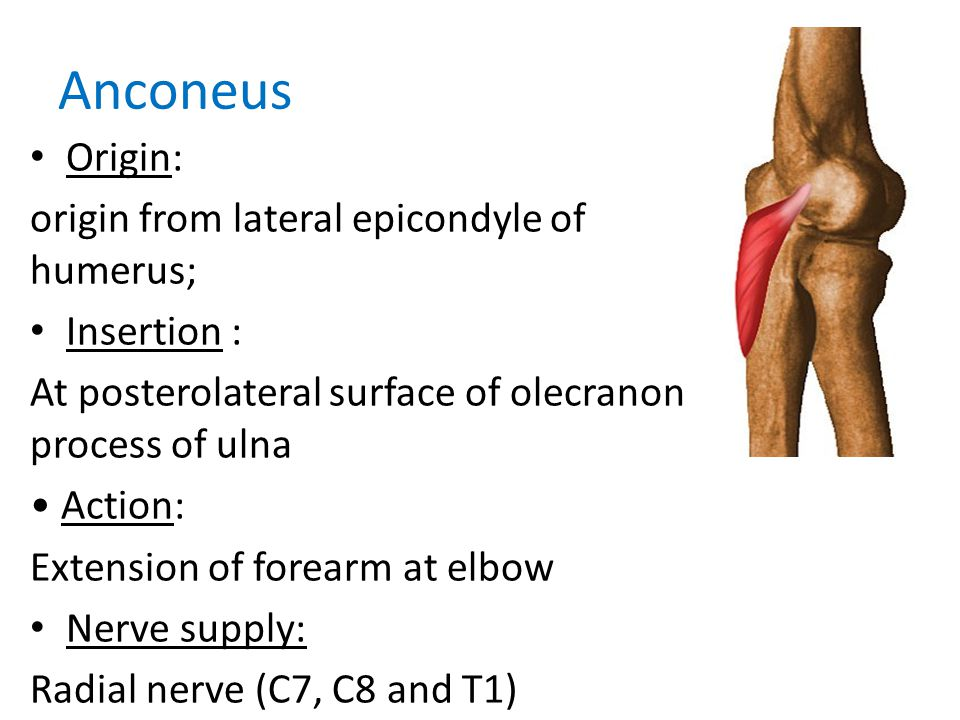 Anconeus Origin: origin from lateral epicondyle of humerus;