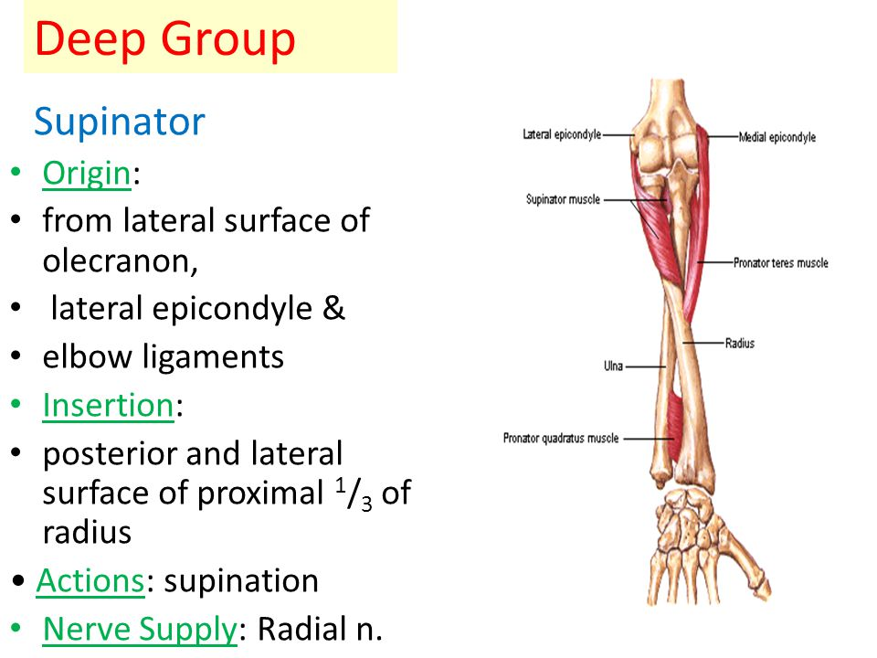 Deep Group Supinator Origin: from lateral surface of olecranon,