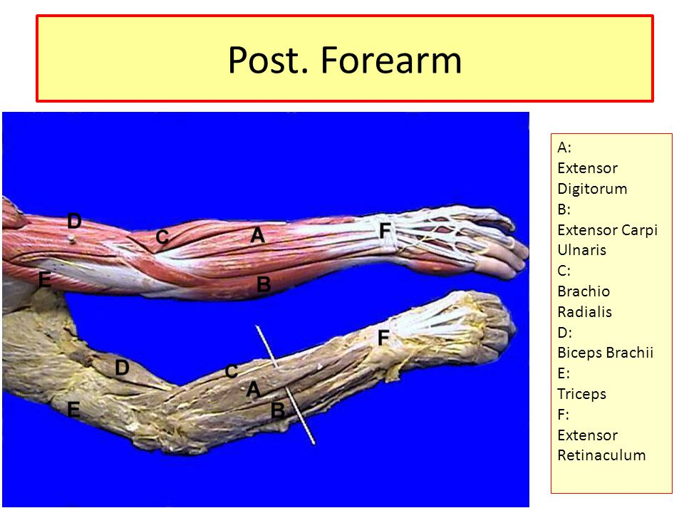 Post. Forearm A: Extensor Digitorum B: Extensor Carpi Ulnaris C: