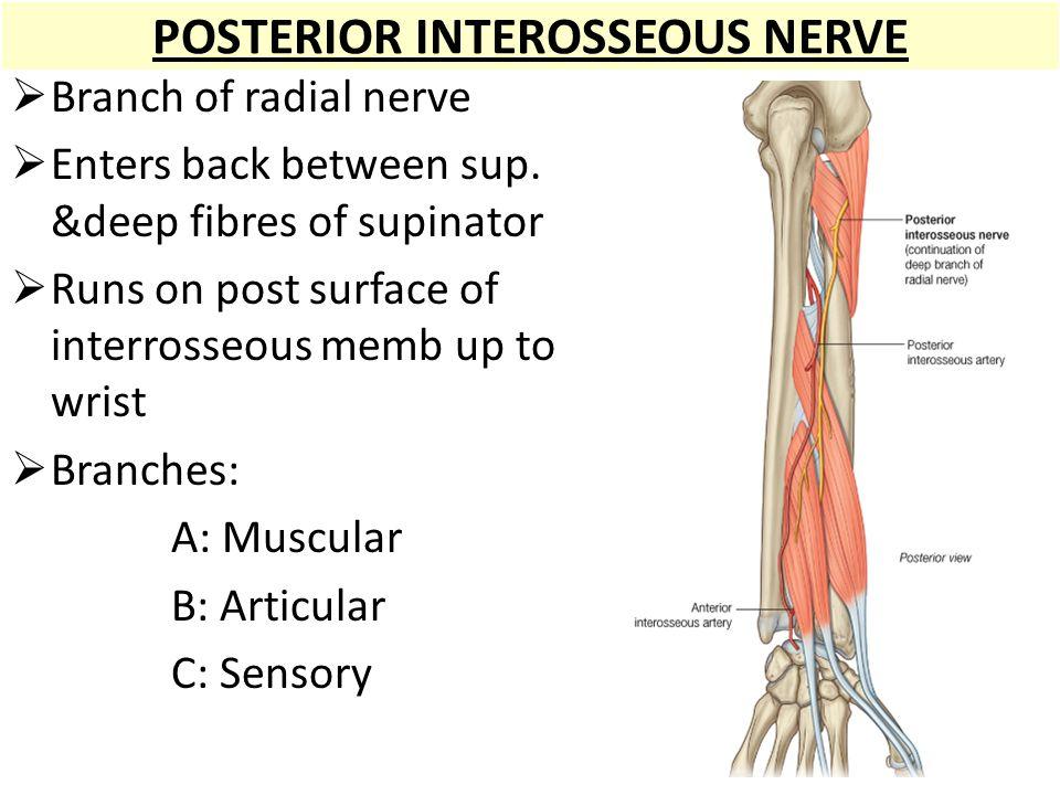 Gro Posterior Interosseous Nerve Anatomy Fotos Menschliche