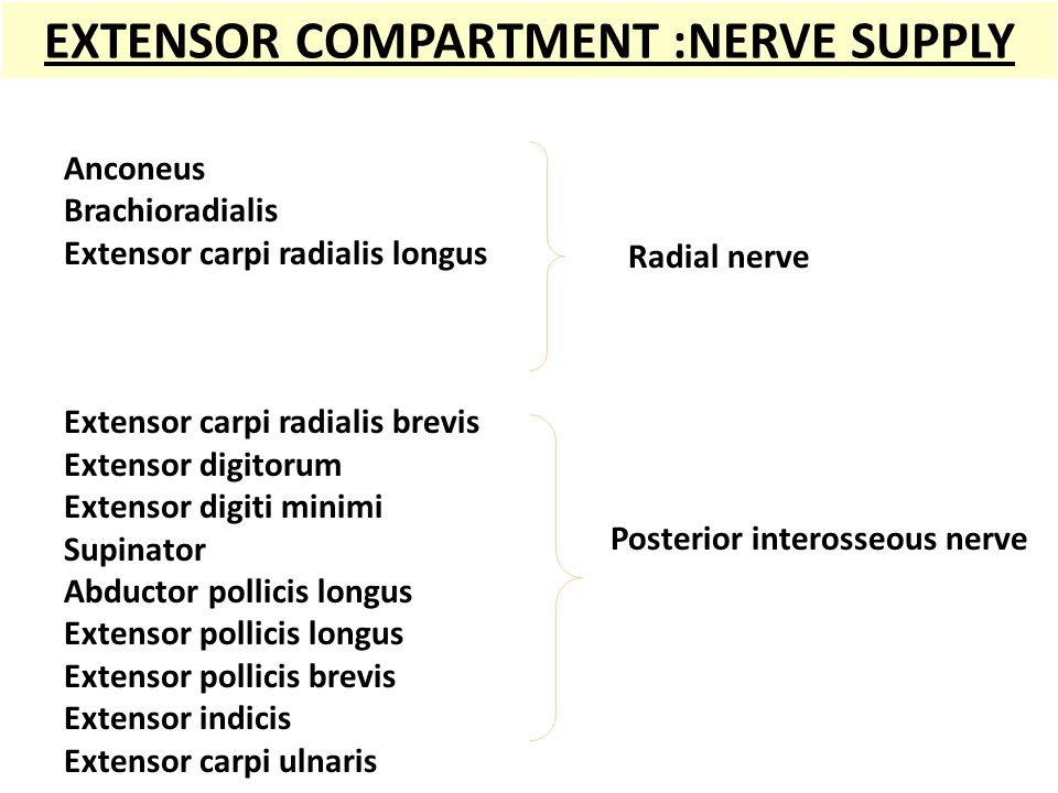 EXTENSOR COMPARTMENT :NERVE SUPPLY