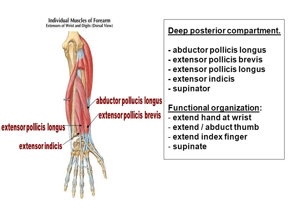 Deep posterior compartment. - abductor pollicis longus
