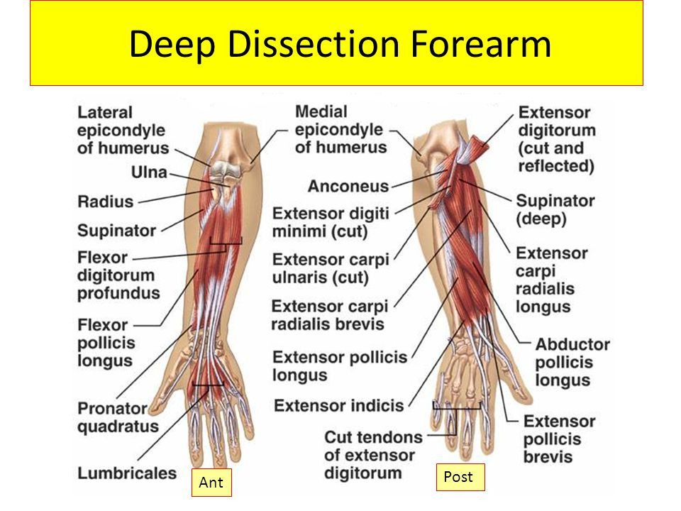 Deep Dissection Forearm