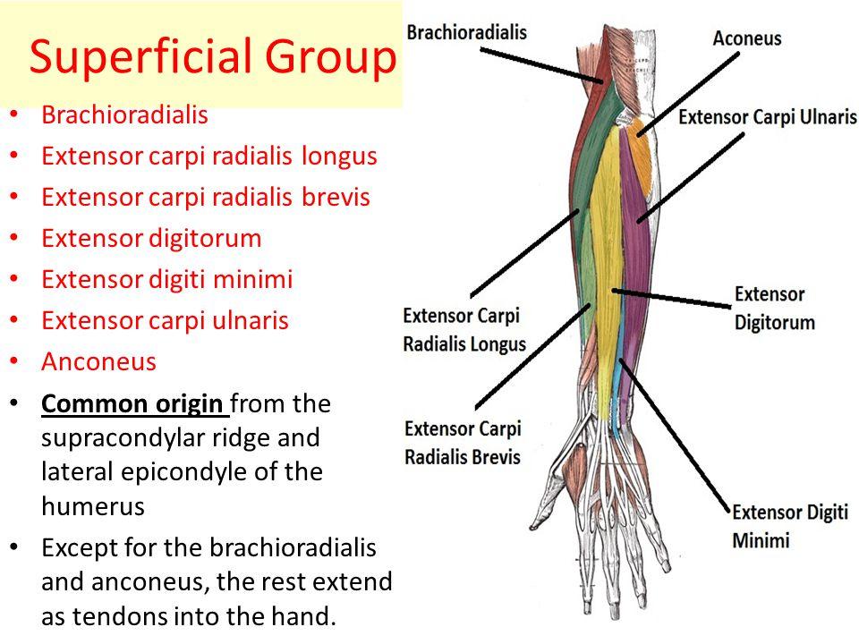 Superficial Group Brachioradialis Extensor carpi radialis longus
